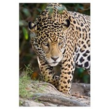 Close up of a Jaguar Panthera onca Three Brothers