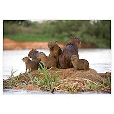 Capybara Hydrochoerus hydrochaeris family on a roc