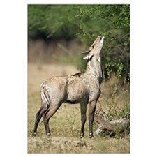 Nilgai Boselaphus tragocamelus feeding on tree lea