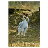 Close up of two Sarus cranes Grus antigone Keolade