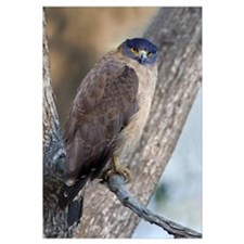 Crested Serpent eagle Spilornis cheela perching on