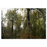 Ancient oak trees in a forest Sherwood Forest Nott