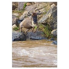 Wildebeest jumping into the river, Mara River, Mas