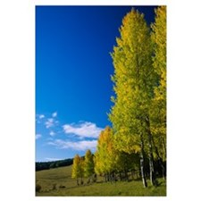American Aspen (Populus tremuloides) trees in a fo