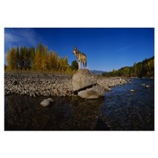Wolf standing on a rock at the riverbank, US Glaci