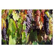 Close-up of red grapes in a vineyard, Finger Lake