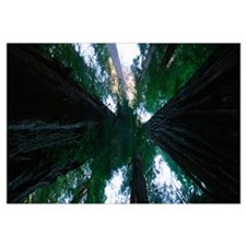 Low angle view of trees in a forest, Redwood Natio