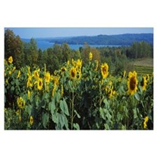 Sunflowers (Helianthus annuus) in a field, Leland,
