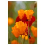 California Golden Poppies (Eschscholzia californic