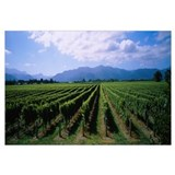 Vine crop in a field, Marlborough, South Island, N