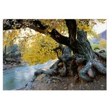 Cottonwood Tree Beside Stream