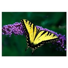 Tiger Swallowtail Butterfly On Blooming Purple Flo