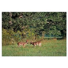 Pair of deer bucks rutting in grassy field, Great