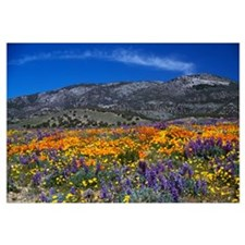 Poppy field in bloom, distant mountains, Californi