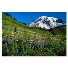 Wildflowers blooming in front of snowy Mount Raini