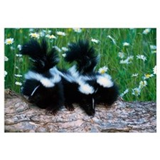 Three young skunks on log in wildflower meadow, Mi