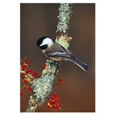 Black-capped chickadee bird on tree branch with be