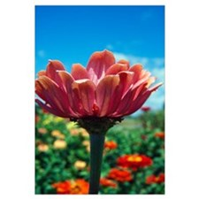 Low angle view of zinnia flower (Zinnia elegans) b