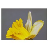 Close up of narcissus or daffodil flower blossom,