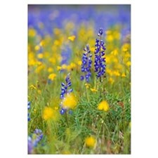 Texas bluebonnet flowers in bloom among yellow wil