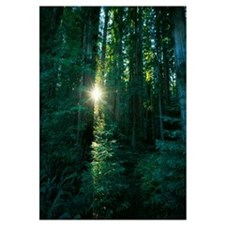 Low angle view of sunstar through redwood trees, J