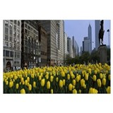 Tulips along South Michigan Avenue, Chicago, Illin