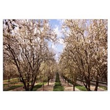 Almond trees in an orchard, Central Valley, Califo