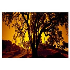 Silhouette of Coast Live Oak trees (Quercus agrifo