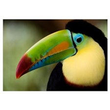 Close up of Keel Billed toucan (Ramphastos sulfura