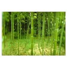 Bamboo trees in a park, Tokyo Prefecture, Kanto Re