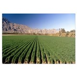 Carrot crops in a field, Indio, Coachella Valley,