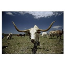 Herd of Texas Longhorn cattle in a field
