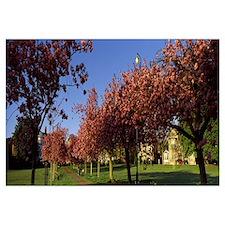 Cherry blossom in a park Stray Harrogate North Yor