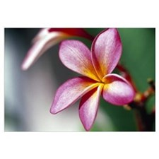 Close up of a frangipani (Plumeria) flower