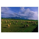 Flock of Sheep near Soria Spain