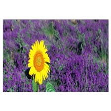 Lone Sunflower in Lavender Field France