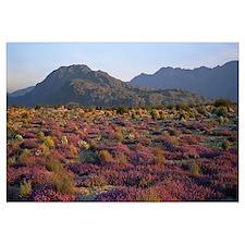 Sand Verbena and Primrose Anza Borrego Desert Stat