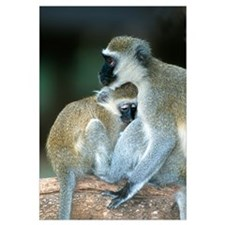 Vervet Monkeys Kenya Africa