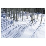 Aspen trees on a snow covered landscape, Flagstaff