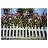 Flowering Roses behind a fence, Coupeville, Island