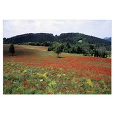 Red poppies in the field, Provence, Provence-Alpes