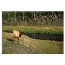 Elk Cervus canadensis in a forest Madison River Ye