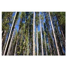 Low angle view of pine trees in a forest, Lodgepol