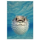 Puffer Fish Bahamas