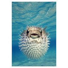 Puffer Fish Bahamas