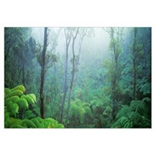 Tree Fern Ohia Forest Hawaii Volcanos National Par