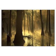 Bald Cypress grove in freshwater swamp at dawn Lak