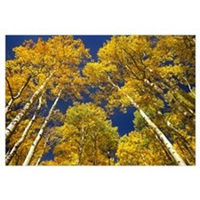 Aspen grove in fall colors, Maroon Bells, Snowmass