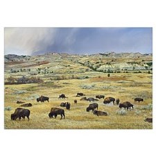 American Bison herd grazing on shortgrass praire n