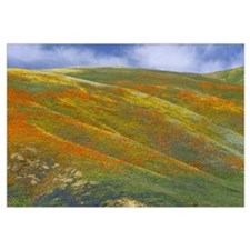 California Poppy covered hillside, spring, Tehacha